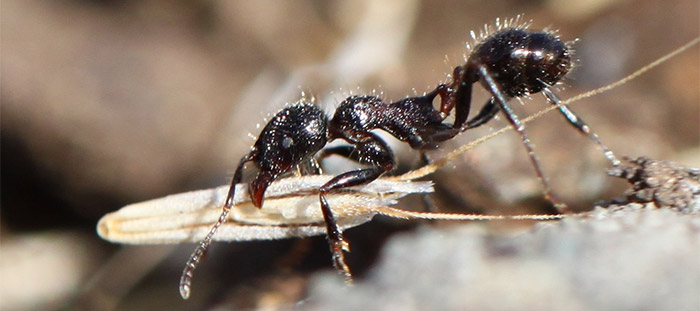 Image: Harvester ant with seed.