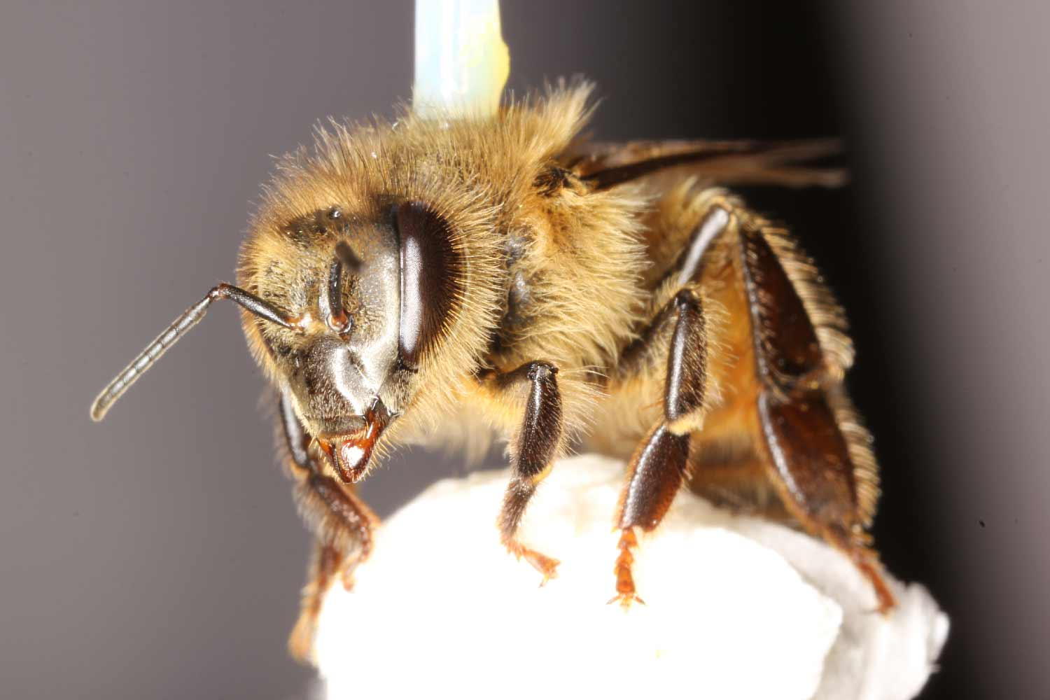 Honey Bee UC San Diego Research