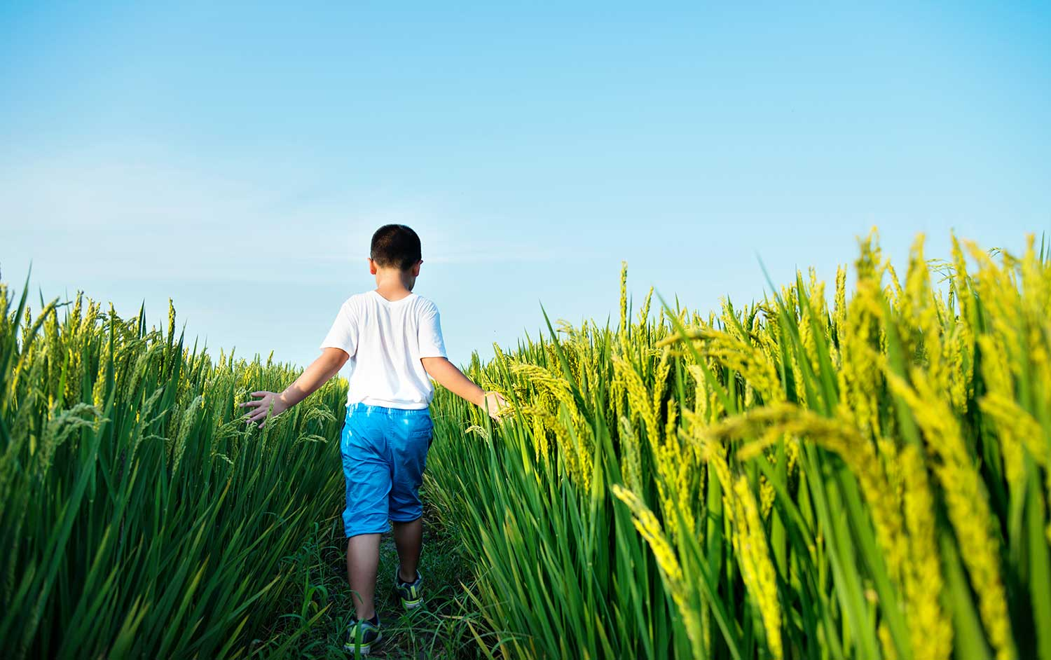 Child in crop field.