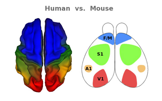 <p>Color-coded representations of human and mouse brains show similarities in cortical functional organization, with some variance according to species-specific needs. F/M indicates the frontal/motor cortex; S1, primary somatosensory cortex; A1, auditory cortex and V1, visual cortex.</p>