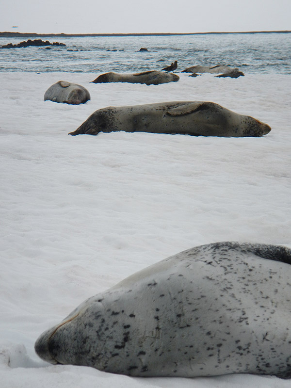 Image: leopard seals on the beach
