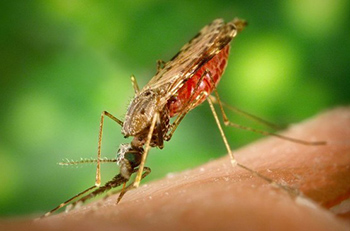 <p>Mosquitoes from the genus<em> Anopheles</em> transmit the protozoan that causes malaria. Credit: Wikimedia</p>