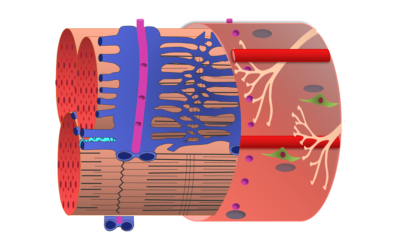 Drawing of muscle fiber