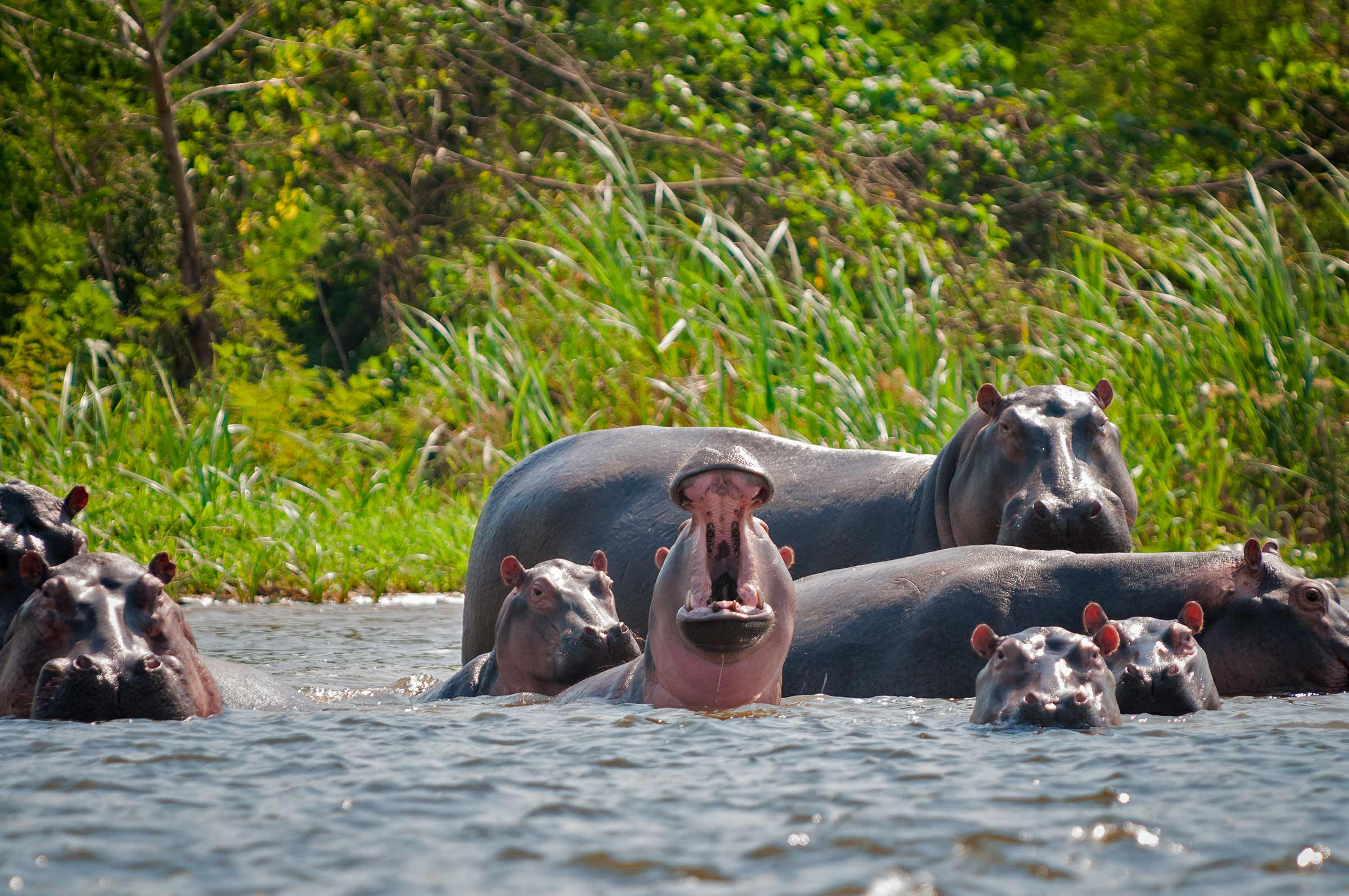 UC San Diego biologists studying pablo escobar hippos