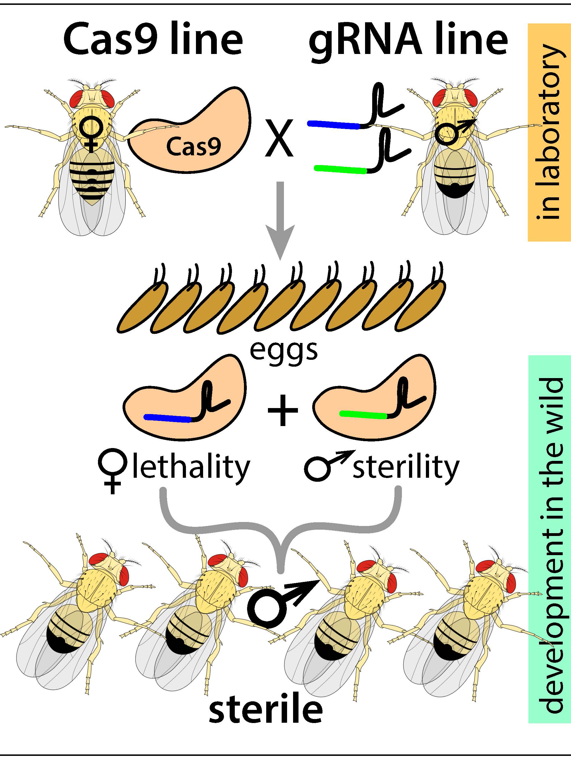 Precision-guided sterile insect technique schematic