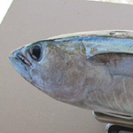 Location, Location, Location: Pollutant Levels in Tuna Depend on Where They Are Caught