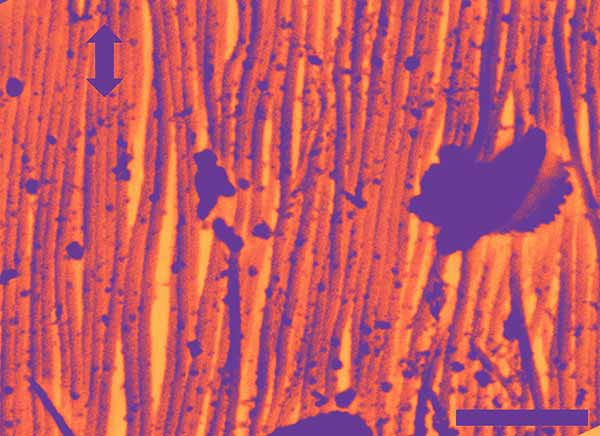 Image: SEM image of arrangement of curved collagen fibers.