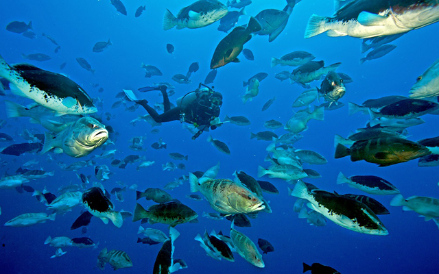 A researcher in SCUBA gear swims among Nassau Grouper, a large reef fish, in a large aggregation