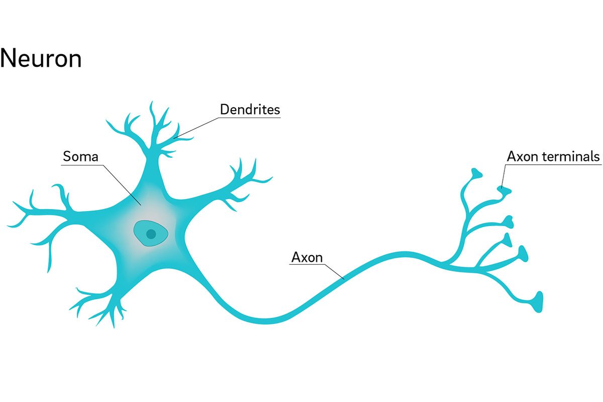 Why are Neuron Axons Long and Spindly  3cdee31303506
