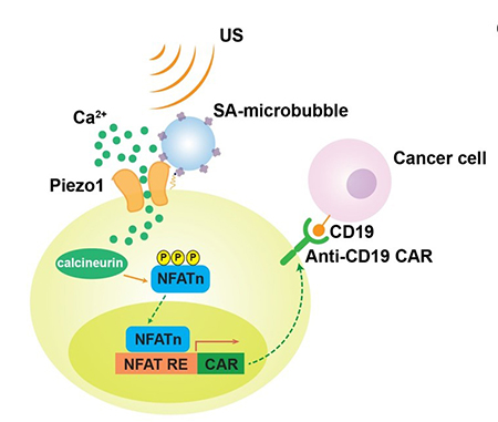Ultrasound-based system can remotely control CAR-T cells to target and kill cancer cells
