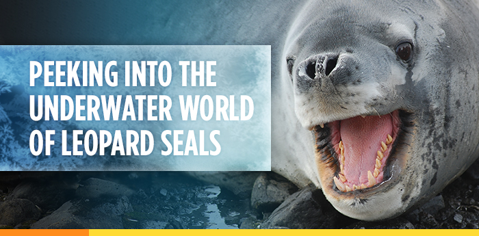 Peeking into the Underwater World of Leopard Seals