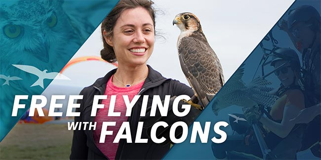 FREE FLYING WITH FALCONS