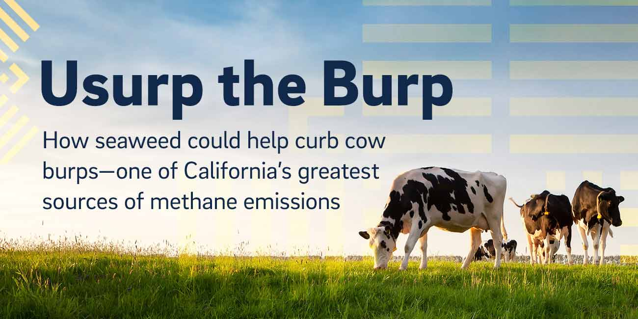 Usurp the Burp | How seaweed could help curb cow burps—one of California's greatest sources of methane emissions