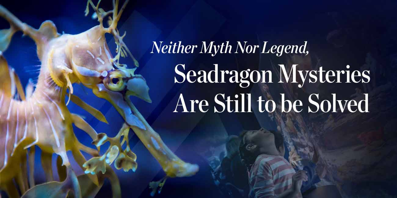 Neither Myth Nor Legend, Seadragon Mysteries Are Still to be Solved