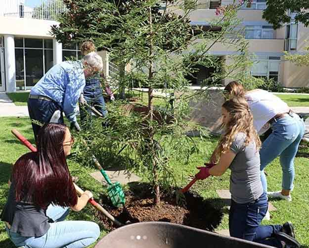 planting two California Redwoods