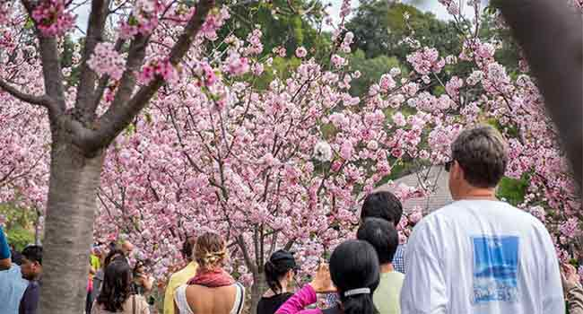 attendees at Cherry Blossom week
