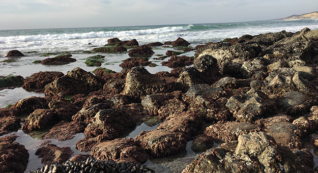 California mussels on the Pacific Coast.