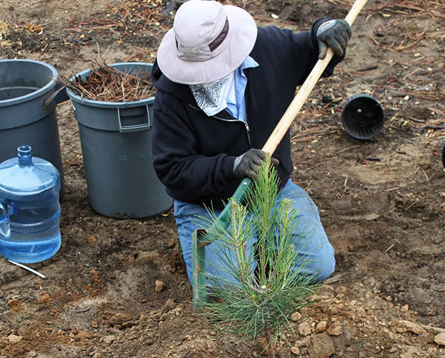 UC San Diego Landscape Services staff planting a Torrey Pines tree.
